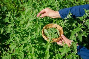 Heilpflanzen sammeln oder kultivieren?