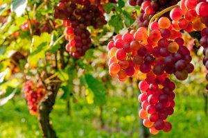 Wein massvoll genossen ist gut für die Gesundheit